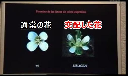 遺伝子組み換え汚染花