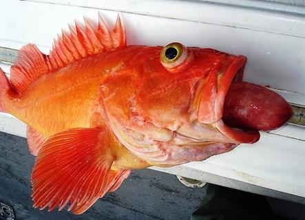 深海魚内臓と目が飛び出し