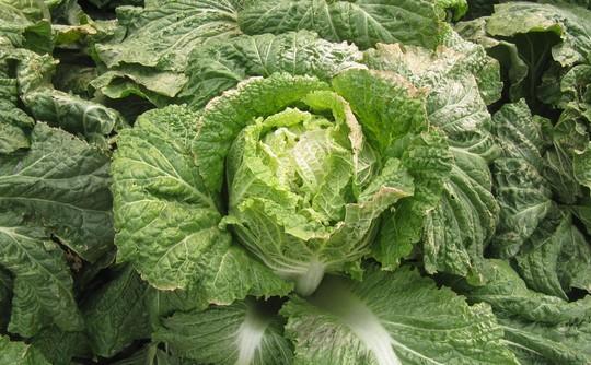 中国農家が食べる野菜は安全