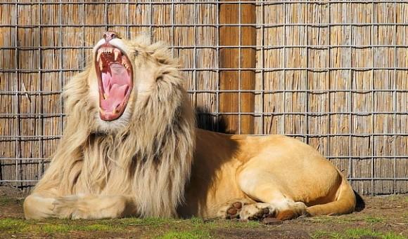サラリーマン社長は餌を与えられ慣れたライオン
