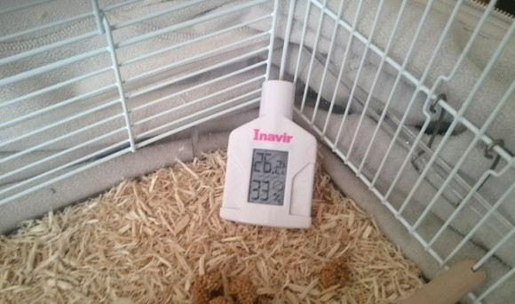 文鳥の雛の温度と湿度管理