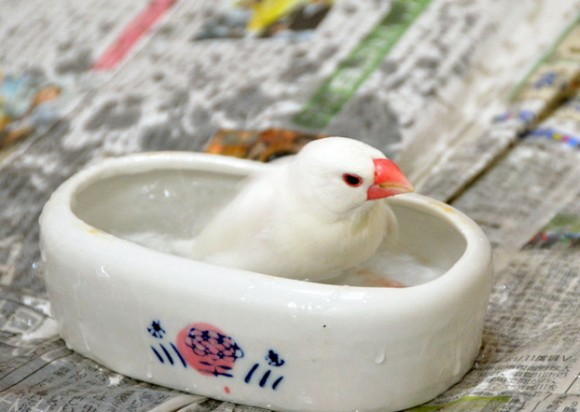 文鳥水浴び