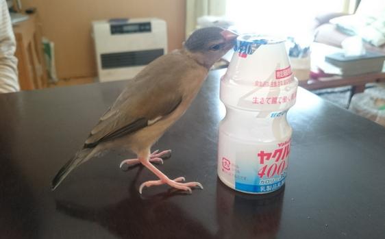 ペットの文鳥といる生活