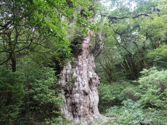 縄文杉トレッキング風景7
