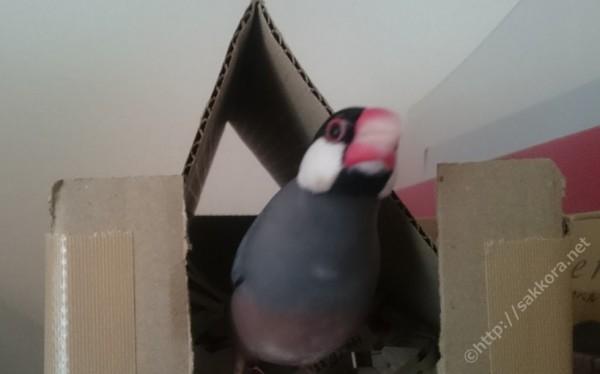 文鳥の鳴き声「キャルルルル」