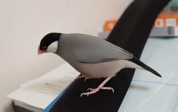 文鳥求愛の鳴き声