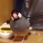 文鳥の鳴き方は12種類!それぞれに違う意味がある!