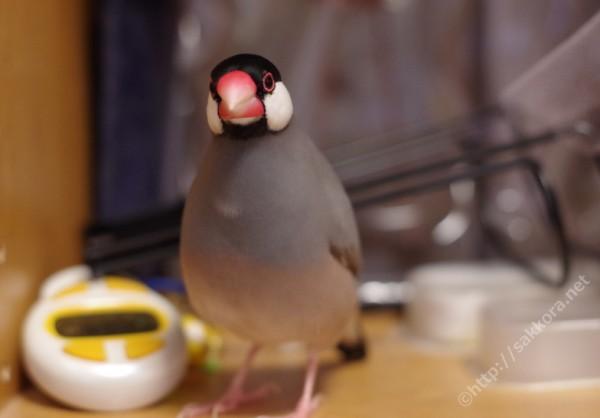 文鳥のギャッギャッ鳴き声
