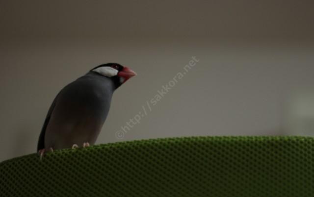 文鳥のゲッゲッゲッという鳴き声