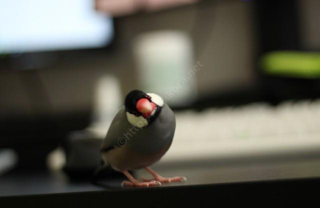 文鳥のホチョチョチョチョ鳴き声