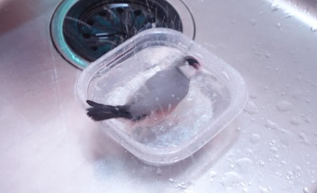 文鳥の水浴び後の匂い