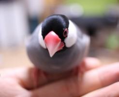 文鳥の匂い