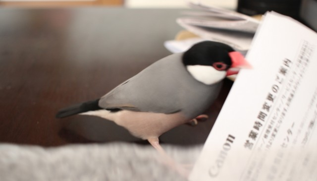 文鳥の頭良い行動5