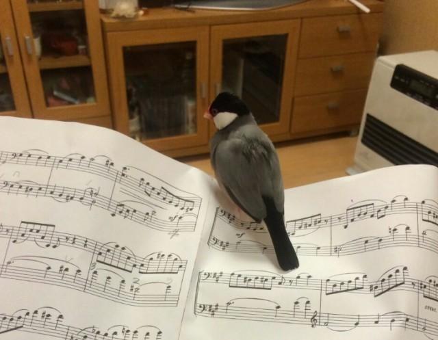 文鳥は元々湿地南国の鳥