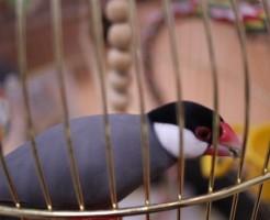 煮干しを食べる文鳥