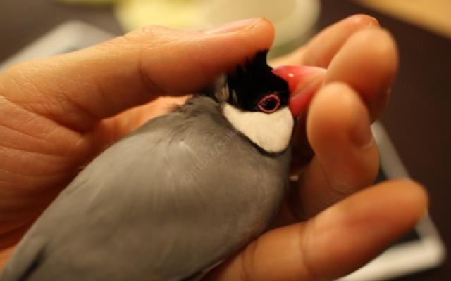 頭を撫でられる文鳥