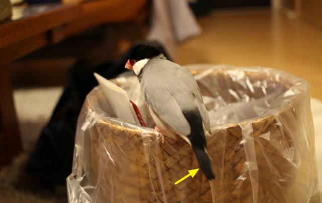 事故で抜けた文鳥の尾羽