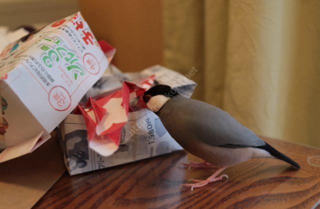 文鳥の放鳥